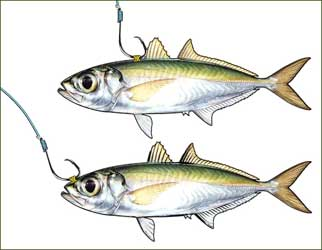 how to fish in cabo san lucas - tips, tutorials and lessons on, Fishing Bait